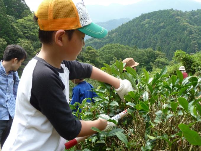 【写真】お茶の葉に触れてお茶づくりに取り組む子ども。