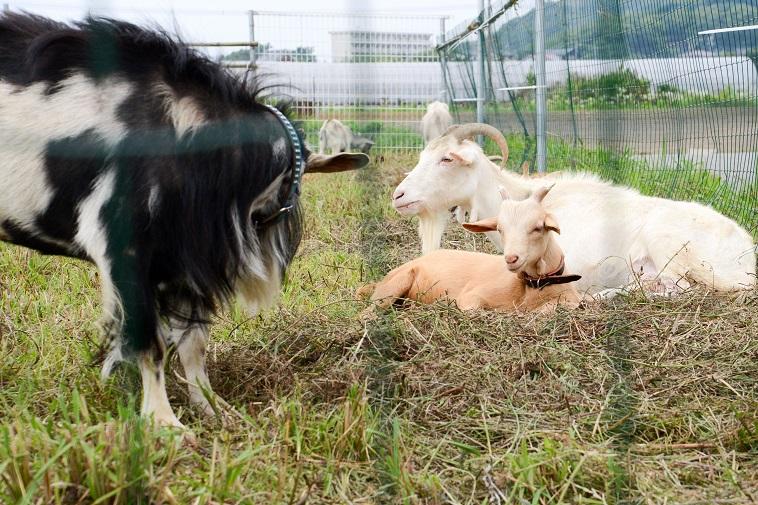 【写真】ヤギが三匹いて、穏やかな空気が流れている