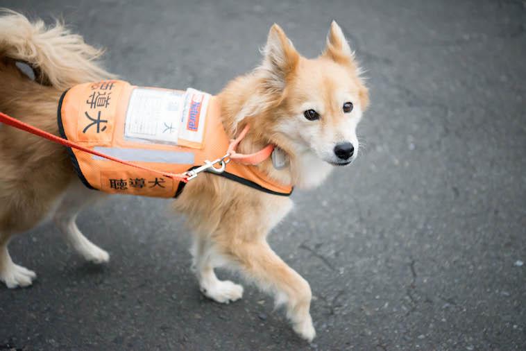 【写真】盲導犬と書かれたケープを着て道路を歩くあみのすけ